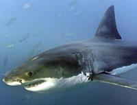 Haie attackieren so oft wie nie