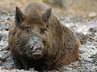 Milder Winter sorgt f�r Wildschweinplage