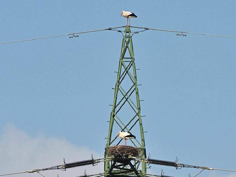 Auch auf Strommasten lassen sie sich nieder.  | Foto: Julius Wilhelm Steckmeister