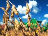 Immer mehr Veganer: Anbau von Soja gewinnt an Bedeutung
