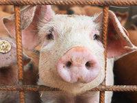 So leben die gl�cklichen Bio-Schweine in Ehrenstetten