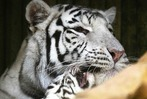 Fotos: Indische Tigerbabys in tschechischem Zoo
