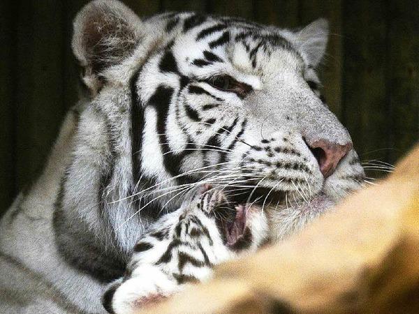 Indische Tiger gelten als gefährdet. Schätzungen zufolge existieren weltweit nur rund 2500 Tiere.