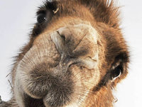 Tierschutz: In Erding bleibt's bei Kamelverbot