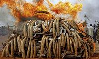 Elefanten - gef�hrlicher Krieg um das wei�e Gold