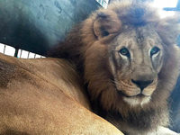 Tierschutzorganisation bringt 33 L�wen nach Afrika