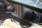 Gorillababys brauchen Beschäftigung und ihre Mama