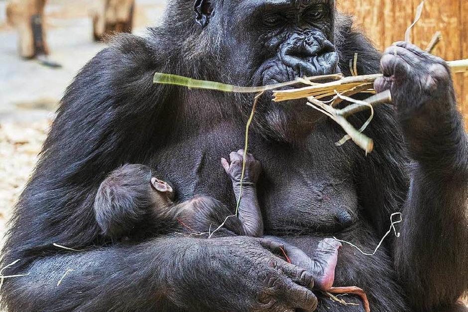 Alle dachten zunächst, die 24 Jahre alte Gorilladame Shinda im Prager Zoo sei übergewichtig. Doch Shinda war schwanger und hat am 23. April ein gesundes Gorillababy zur Welt gebracht. (Foto: dpa)