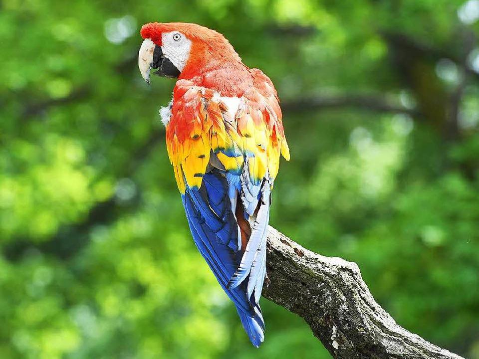 karlsruher zoo rettet papagei von pippi langstrumpf karlsruhe badische zeitung. Black Bedroom Furniture Sets. Home Design Ideas