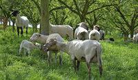 So werden 200 Schafe bei Britzingen geschoren