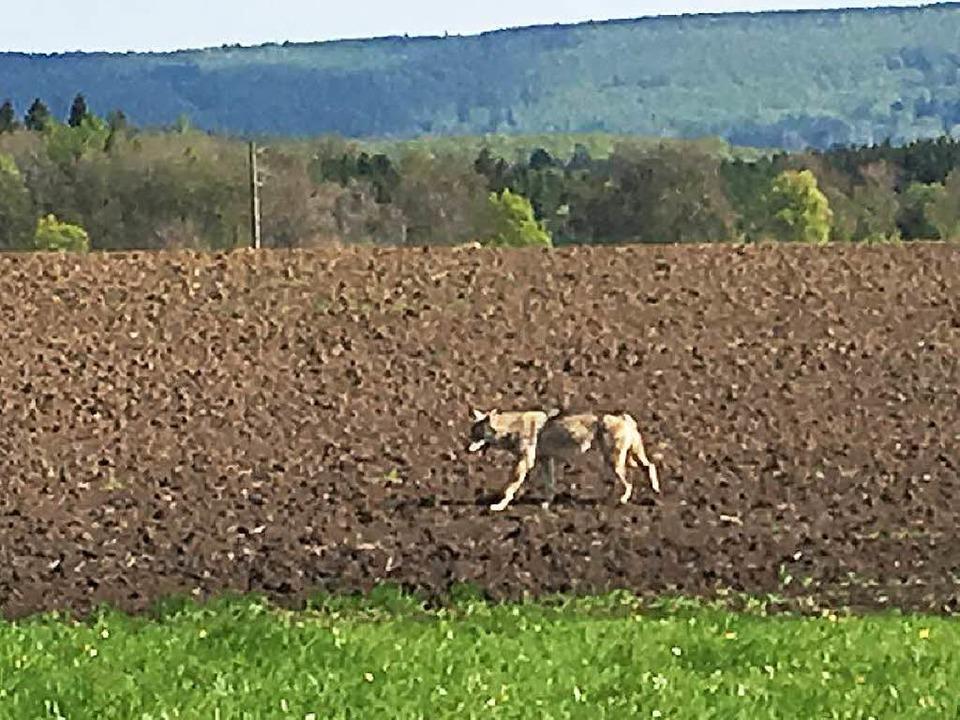 Das ist er: Dieser Wolf ist auf der Baar fotografiert worden.    Foto: Privat