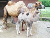 Video: So frech ist Baby-Kamel Amir vom Mundenhof