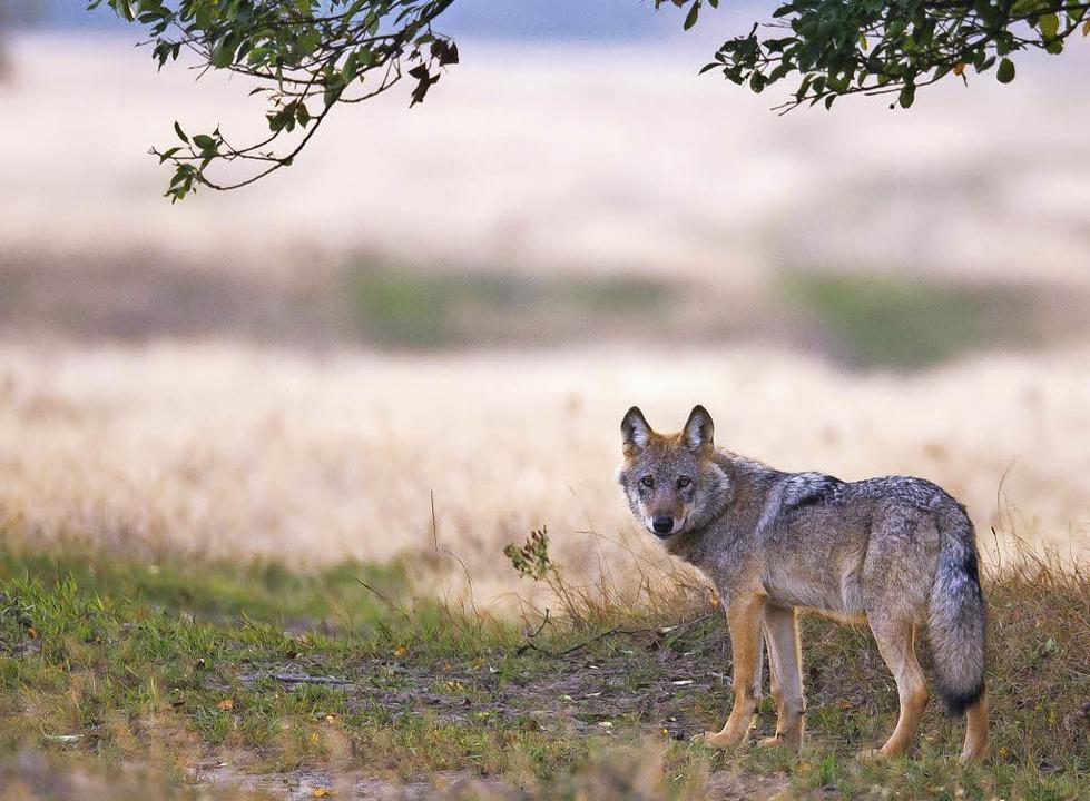 Manchmal auch alleine unterwegs – der Wolf    Foto: Juergen Borris/Jens Koch (NABU)