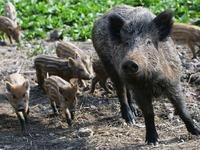 Wenn's um Wildschweine geht, ist Freiburg nicht Berlin
