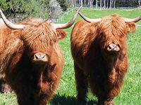 Landwirt h�lt schottische Rinder statt Milchk�he
