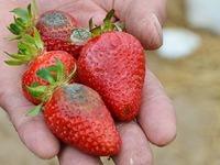 Ortenauer Landwirte bangen um ihre Erdbeerernte