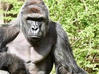 Abschuss von Gorilla Harambe erregt die Gem�ter