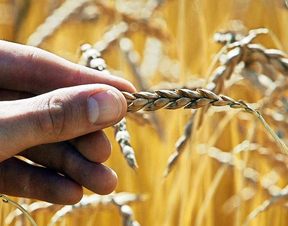 Ähnlich wie Weizen sieht die Ähre des Dinkels aus.  | Foto: Frank Mächler