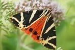Fotos: Schmetterlinge in Gundelfingen, Glottertal und Denzlingen