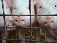 Mehr als 500 Schweine bei Gro�brand in Kehl verendet