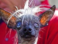 Fotos: H�sslichster Hund der Welt in Kalifornien gek�rt