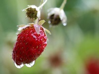 Faule Erdbeeren schlagen den Obstbauern ins Kontor