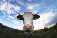 Kinzigtalbahn: Zug erfasst Kuh – Tier tot