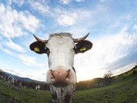 Kinzigtalbahn: Regionalzug erfasst Kuh, das Tier stirbt