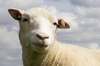 Geklonte Schafe altern gut
