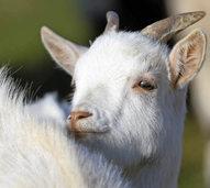 K�serei Monte Ziego: Ziegen sind eine Chance f�r Schwarzwaldbauern