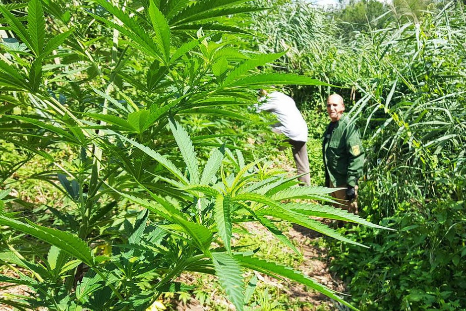Die Polizei fand mehrere kleine Grasplantagen. (Foto: Sebastian Wolfrum)