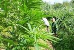 Fotos: Die Polizei sucht Marihuana in den Maisfeldern um Freiburg