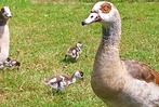 Fotos: Eine Familie Nilg�nse geht am Nimburger See spazieren