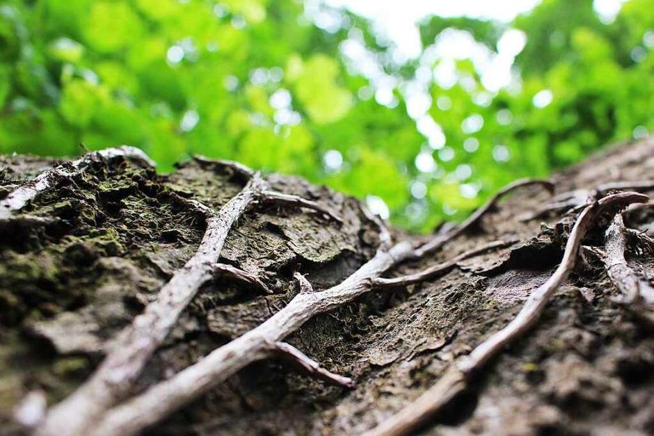 Lorena Maria Fluhr: Das Foto zeigt einen Baumstamm, der mit Wurzeln bewachsen ist. Es ist bei einem Spaziergang im Grütt in Lörrach entstanden. -  Hart ist für mich das Klare im Bild und weich das Verschwommene. (Foto: Lorena Maria Fluhr)