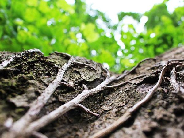 Lorena Maria Fluhr: Das Foto zeigt einen Baumstamm, der mit Wurzeln bewachsen ist. Es ist bei einem Spaziergang im Grütt in Lörrach entstanden. -  Hart ist für mich das Klare im Bild und weich das Verschwommene.