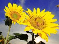 Warum schauen �ltere Sonnenblumen nach Osten?