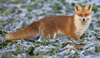 Der schlaue Fuchs f�hlt sich im Ort wohl