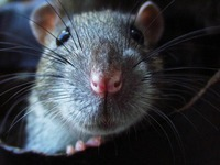 Rattenplage in Kehl: Was k�nnen B�rger besser machen?