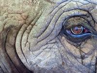 Sch�tzer schlagen Alarm: Elefanten dramatisch bedroht