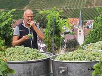 Winzer erwarten guten Weinjahrgang – trotz Pilzbefall