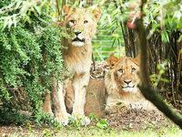 L�wen im Zoo Leipzig ausgebrochen – ein Tier erschossen