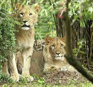 L�we im Leipziger Zoo erschossen