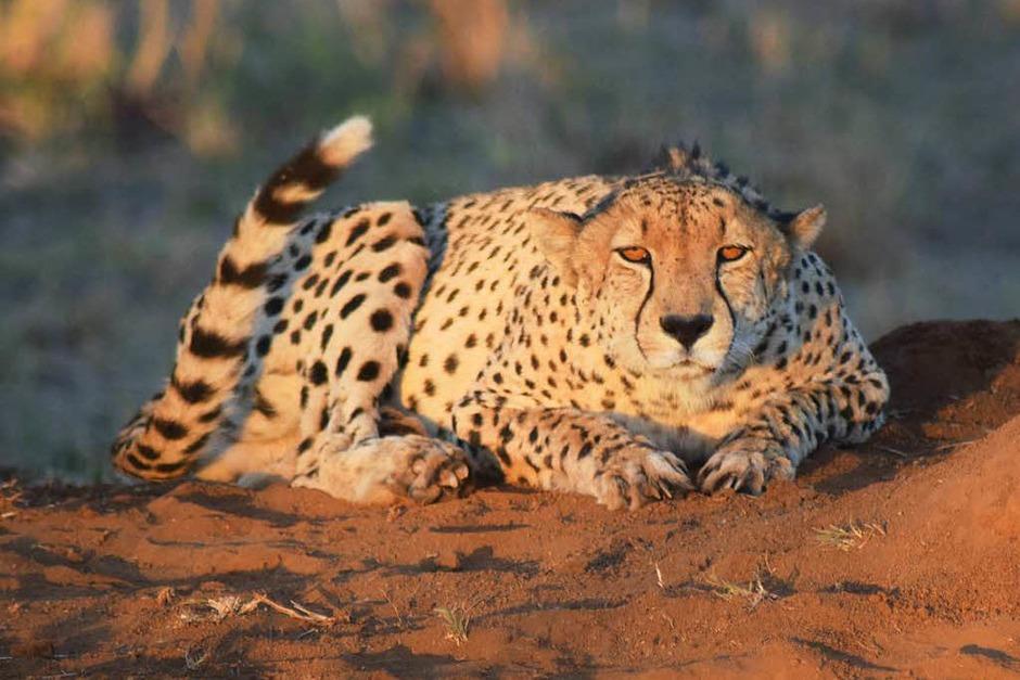 Das schnellste Landtier der Welt: Dieser lauernde Gepard wurde von Christian Naatz im Sabi Sand Game Reserve in Süd Afrika fotografiert. (Foto: privat)