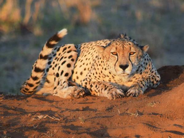 Das schnellste Landtier der Welt: Dieser lauernde Gepard wurde von Christian Naatz im Sabi Sand Game Reserve in Süd Afrika fotografiert.