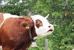 Fotos: Viehabtrieb M�nstertal