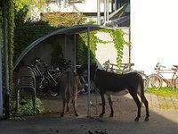 Nächtlicher Einsatz in Lörrach: Polizisten nehmen Esel fest