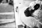 Schwarz-Wei�-Fotos: Viehabtrieb der Erlenbacher Weidegenossenschaft