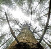 Fichte ist der h�ufigste Baum in deutschen W�ldern - aber sie ist umstritten
