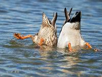 Warum man Enten nicht f�ttern sollte