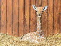 Giraffen-Streicheln unterst�tzt Heilung von Depressionen